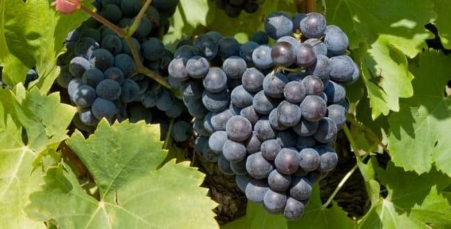 Devenir viticulteur